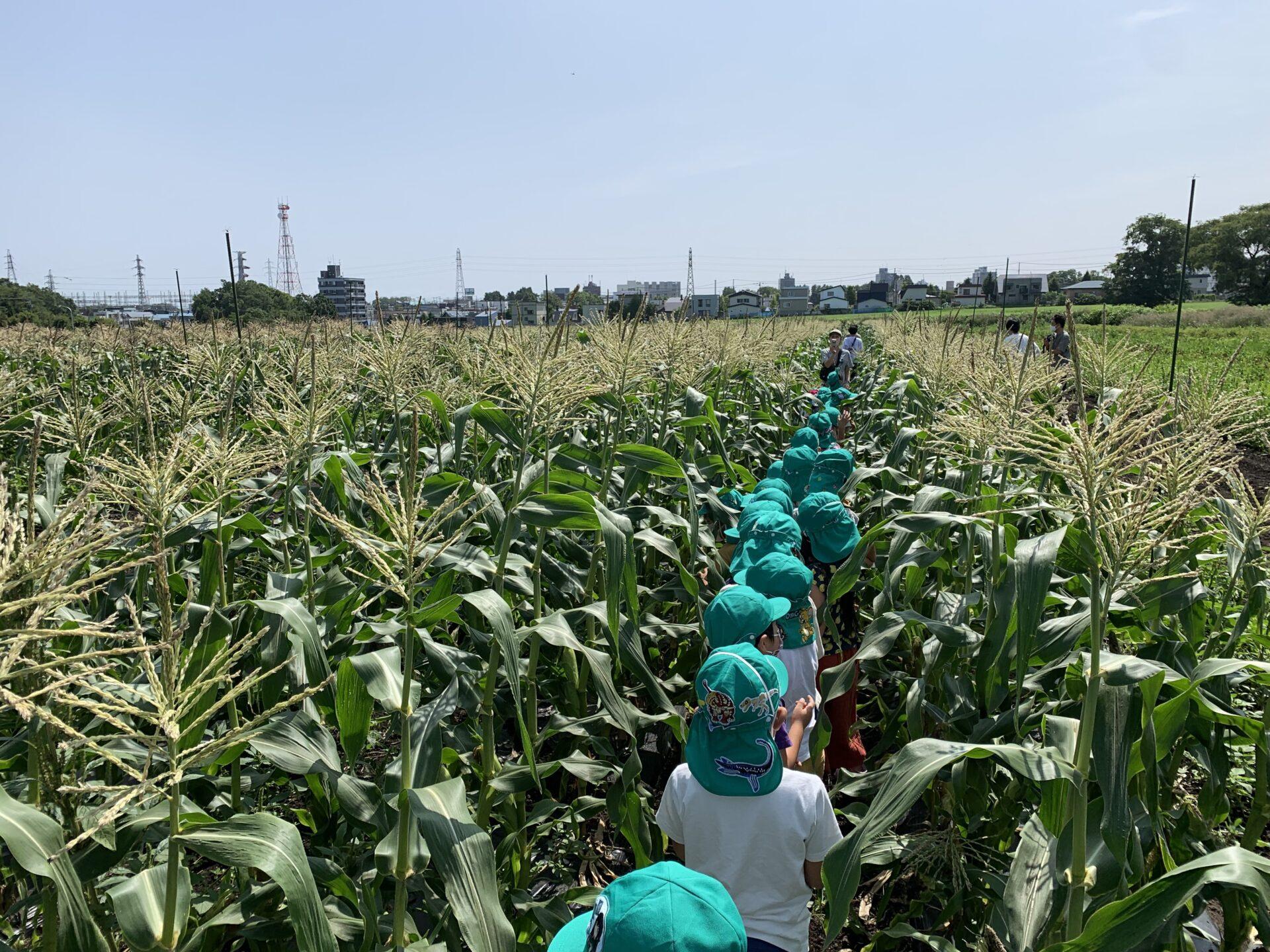 たんぽぽ組「スイートコーン収穫☆」